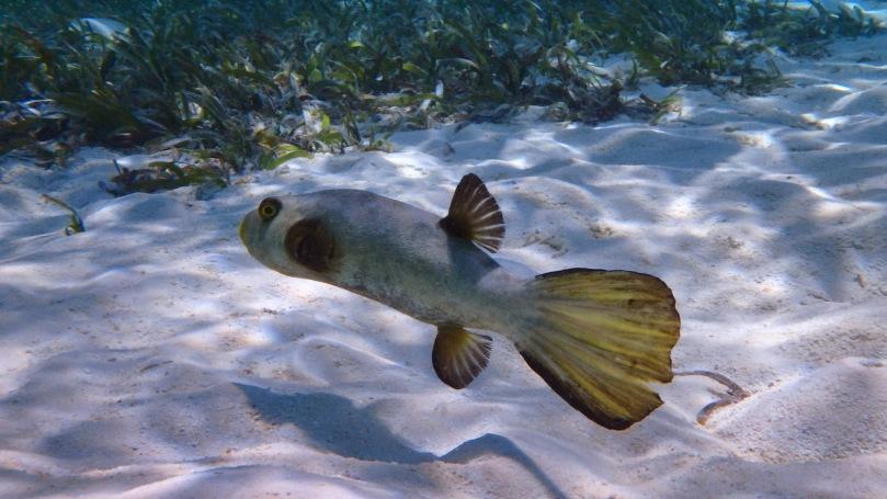 diving-fish